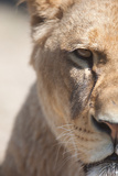 Close-Up Portrait Of A Majestic Lioness (Panthera Leo) Photographic Print by  l i g h t p o e t