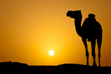 Sun Going Down in a Hot Desert: Silhouette of a Wild Camel at Sunset Posters by  l i g h t p o e t
