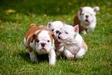 English Bulldog Puppies Playing Fotografisk tryk af  ots-photo