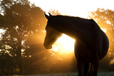 Beautiful Arabian Horse Silhouette Against Morning Sun Shining Through Haze And Trees Posters by Sari ONeal