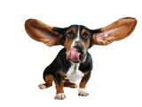 A Basset Hound With Long Flying Ears Posters by  graphicphoto