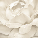 Abstract Macro Shot Of Beautiful Cream Rose Flower With Water Drops. Floral Background Photo by Im Perfect Lazybones