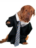 Dogue De Bordeaux Dressed Like A Businessman Prints by  vitalytitov