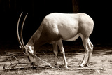 Antelope Photographic Print by  yuran-78