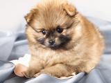 Pomeranian Spitz Puppy Print by  Lilun