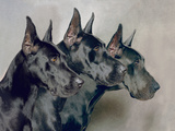 A Portrait Of Three Generations Of Great Dane Dogs Photographic Print by  Blueiris