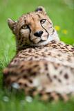 Cheetah (Acinonyx Jubatus) Posters by  l i g h t p o e t