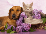 British Kitten Rare Color (Lilac) And Puppy Red Dachshund, Cat And Dog Photographic Print by  Lilun