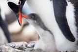 Penguins Nest Reproduction photographique par  goinyk