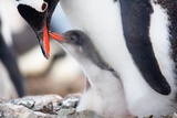 Penguins Nest Photographic Print by  goinyk