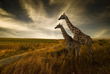 Giraffes And The Landscape Photo