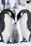 Emperor Penguins (Aptenodytes Forsteri) Posters by Gentoo Multimedia