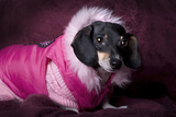 Dachshund In Pink Coat Photographic Print by  Eponaleah