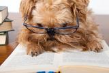 Serious Dog In Glasses Fotografisk tryk af Okssi