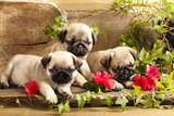 Pug Puppies And Flowers In Retro Backgraun Photographic Print by  Lilun