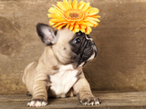 French Bulldog Puppy Photographic Print by  Lilun