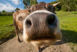Curious Funny Cow On The Meadow Photo by  Arsgera