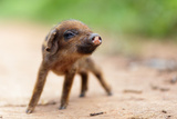 Cute Little Asian Pig On A Dirty Country Road, Shallow Depth Of Field Print by  smithore