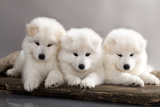 Funny Puppies Of Samoyed Dog (Or Bjelkier) Photographic Print by  Lilun