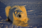 Polar Bear In Low Arctic Sun Photographic Print by  outdoorsman