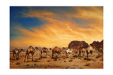 Camels In Wadi Rum Poster by  hitdelight