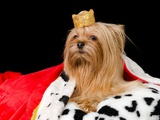 Royal Dog With Crown And Gown, Isolated On Black Posters by  vitalytitov
