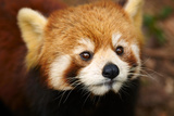 The Red Panda, Firefox Photographic Print by  silver-john