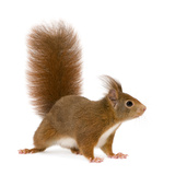 Eurasian Red Squirrel - Sciurus Vulgaris (2 Years) Photographic Print by  Life on White
