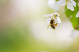 Honey Bee Enjoying Blossoming Cherry Tree On A Lovely Spring Day Reproduction photographique par  l i g h t p o e t