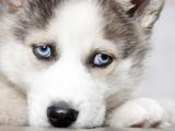 Close Up On Blue Eyes Of Cute Siberian Husky Puppy Fotografisk tryk af melis