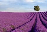 Andreas G. Karelias - Rich Lavender Field With A Lone Tree Fotografická reprodukce