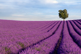 Rich Lavender Field With A Lone Tree Photographic Print by Andreas G. Karelias