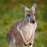 Kangaroo Photo by  l i g h t p o e t