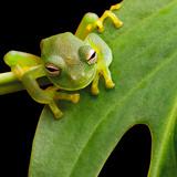 Tree Frog In Brazil Tropical Amazon Rain Forest Beautiful Night Animal And Endangered Amphibian Poster by  kikkerdirk