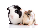 Family Guinea Pigs Prints by  Fotosmurf01