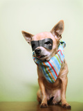 A Cute Chihuahua With A Mask And Bandana On Prints by  graphicphoto