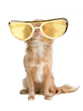 Tiny Chihuahua Dog With Funny Huge Glasses Prints by  vitalytitov