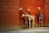 Giraffen Fotodruck von  yuran-78
