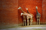 Giraffes Prints by  yuran-78