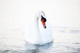 Swan Floating On The Water Posters by  melis