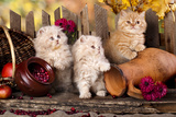 Persian Kittens Posters by  Lilun
