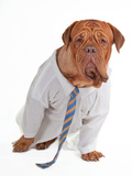 Dog Dressed Like Businessman With Shirt And Tie Posters by  vitalytitov