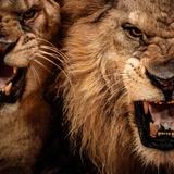 Close-Up Shot Of Two Roaring Lion Fotografisk tryk af NejroN Photo