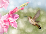 Dreamy Image Of A Ruby-Throated Hummingbird Hovering Next To A Pink Gladiolus Flower Photographic Print by Sari ONeal