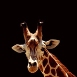 Giraffe Photographic Print by  yuran-78