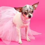 Tiny Elegant Chihuahua Dog Photographic Print by  vitalytitov