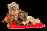 Two Yorkshire Terriers With Royal Dress On Red Cushion Posters by  vitalytitov