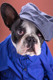 Adorable French Bulldog Wearing Blue Shirt On Brown Background Photo by Patryk Kosmider