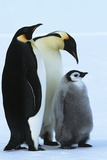 Antarctica Weddel Sea Atka Bay Emperor Penguin Family Poster by  Nosnibor137