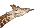 Somali Giraffe Prints by  Life on White